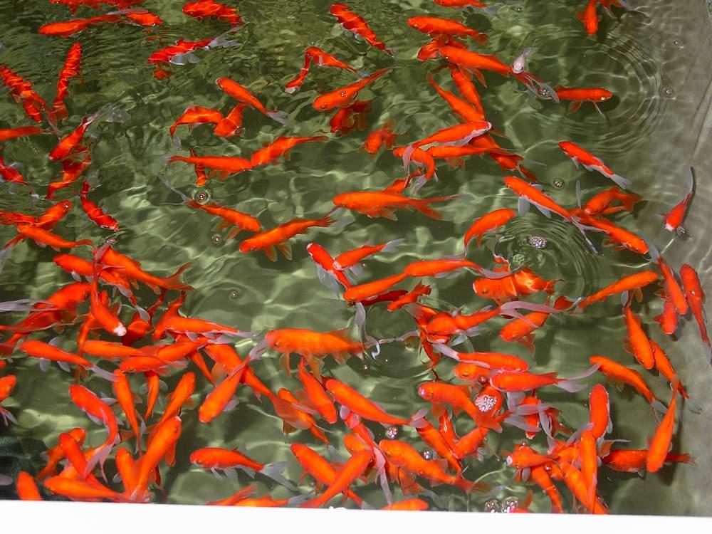 Ryby do jezírka prodej